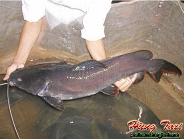 Mồi câu cá lăng hùng taxi