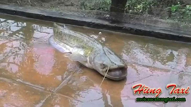 Cách làm mồi câu cá nheo của hùng taxi