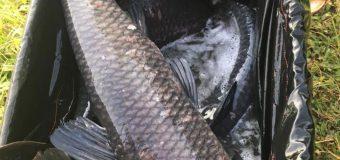 Hồ câu đắc long thả 22 trắm đen chép ngày 24.11.2016