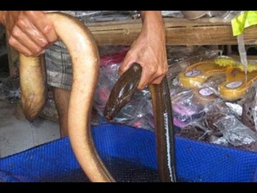 câu lươn khủng